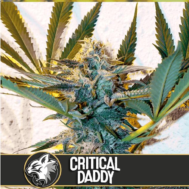 Critical Daddy x3