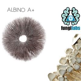 Albino A+ Espora