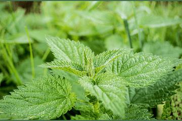 La Ortiga como Planta