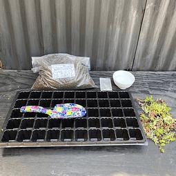 Kit para plantación de 50 esquejes de suculentas con bandeja