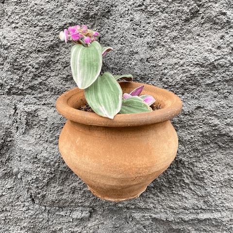 Macetero colgante con planta Trasdescanthia