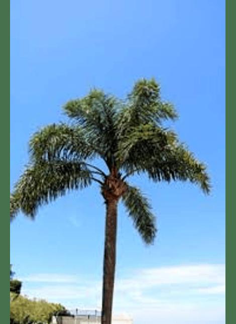 Palmera Cocos plumosa