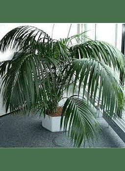 Palmera Kentia (howea forestiana))