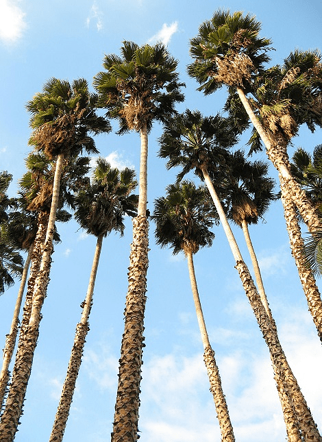 Semillas Washingtonia Robusta
