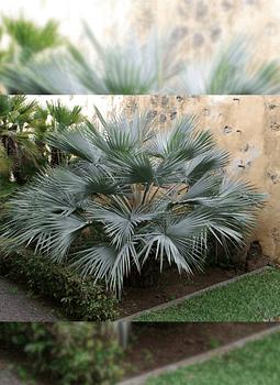 Semillas de palmera Azul de México (Brahea armata)