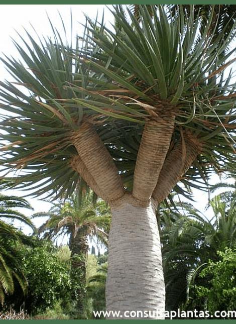 Dracaena draco (drago de canarias)