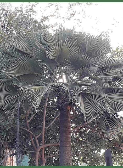 Palmera de Guadalupe (braea edulis)