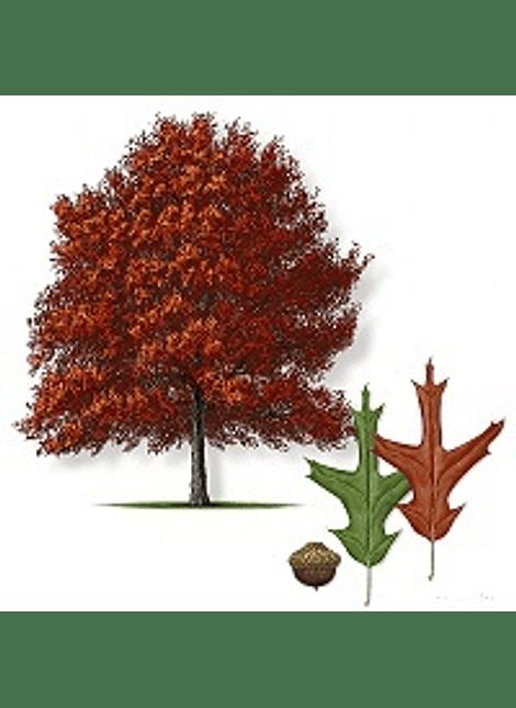 Roble rojo (quercus Falcata)
