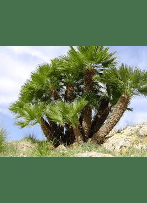 Semillas de Palmera del palmito  (Chamerops Humilis )