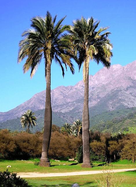 Semillas de Palma Chilena