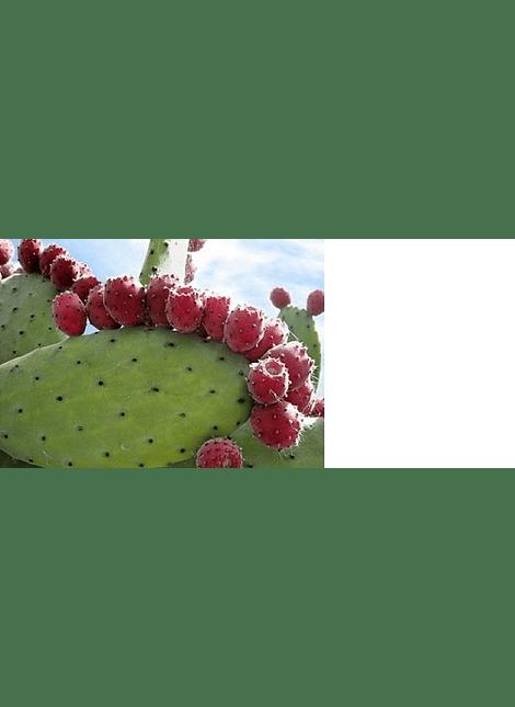 Paletas de Tunas Rojas (teñido)