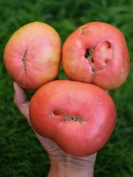 Caja 2 Kg Tomates Rosados