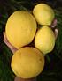 Bolsa 2 Kg Limones Orgánicos