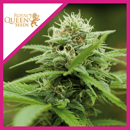 ROYAL MOBY FEM X3-ROYAL QUEEN SEEDS