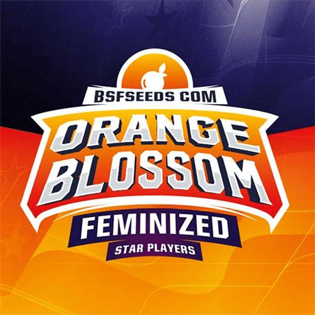 Orange Blossom X4 - BSF Seeds