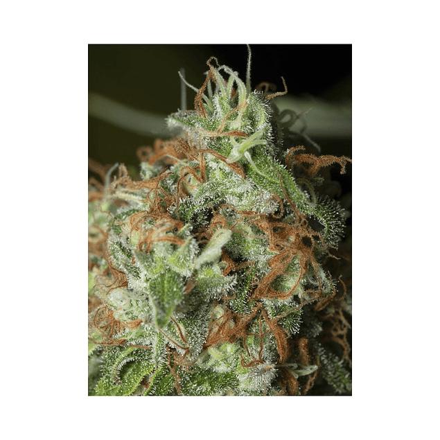 Jamaican Dream Cbd Fem X3+1 - Eva Seeds