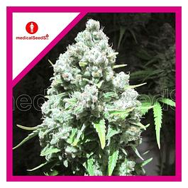 Malakoff Fem X3 - Medical Seeds