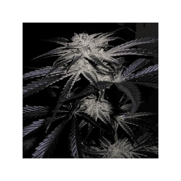 Mango/peyote  x3 - Cannabiogen Seeds