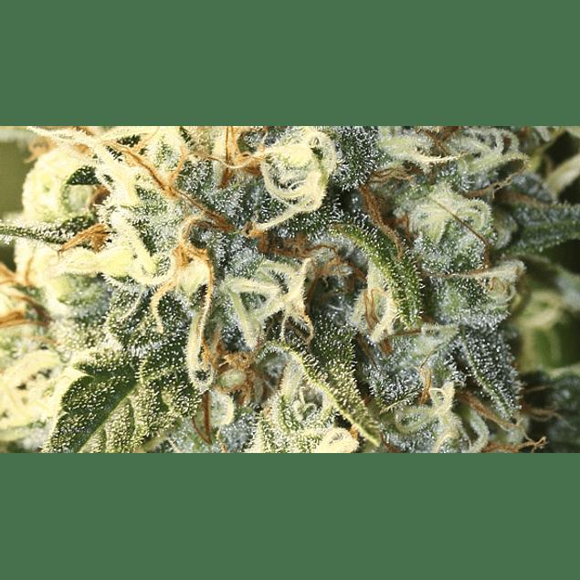 Jamaican Dream Fem X3+1 - Eva Seeds