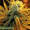 Misty Kush Fem X3 - Nirvana
