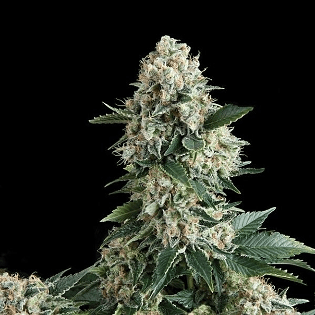 Auto New York City X1 - Pyramid Seeds