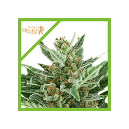 Auto Easy Bud X3 - Royal Queen Seeds