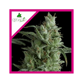 Kryptonite Fem X1 - Pyramid Seeds