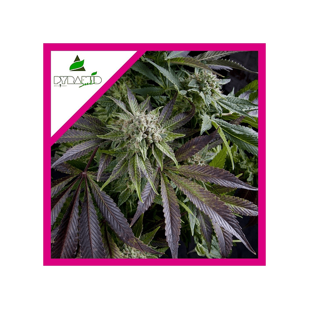 BLUE PYRAMID FEM X 3 + 1 - PYRAMID SEEDS