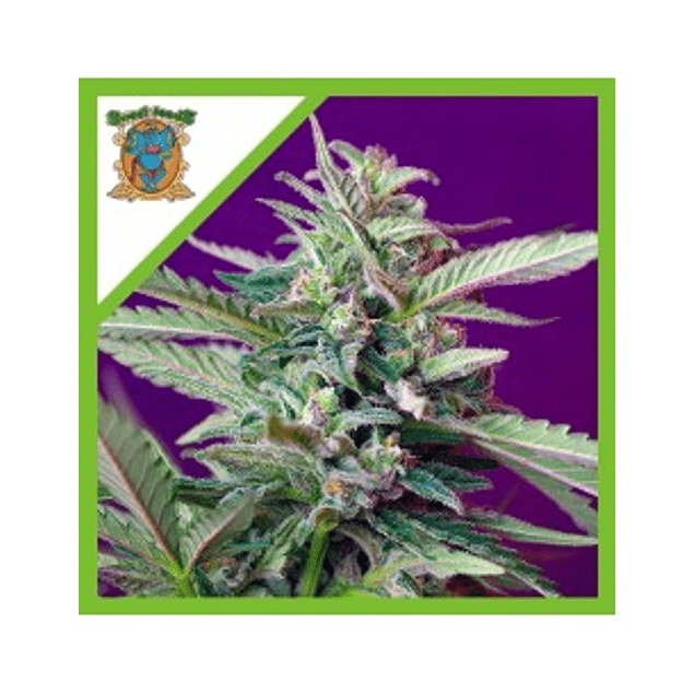 AUTO S.A.D. Sweet Afgani Delicious  X 3+1 SWEET SEEDS