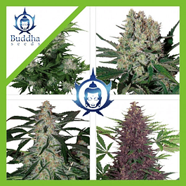 ASSORTED AUTO X10 - BUDDHA SEEDS