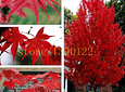 american red maple seeds