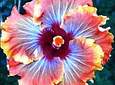 bag Giant Hibiscus Flower Seeds Hardy