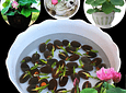bag Lotus water lily bonsai