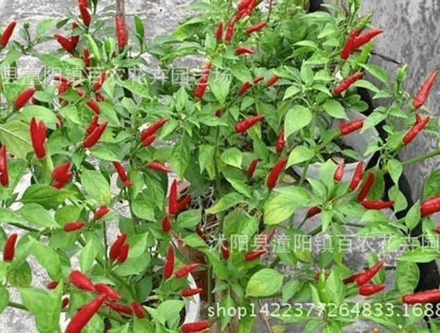 bag Vegetable Seeds Chili Pepper