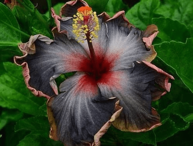 Black Hibiscus Seeds Giant Flower Tropical
