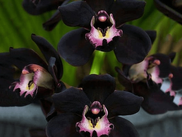 Faberi Orchid Flower Seeds