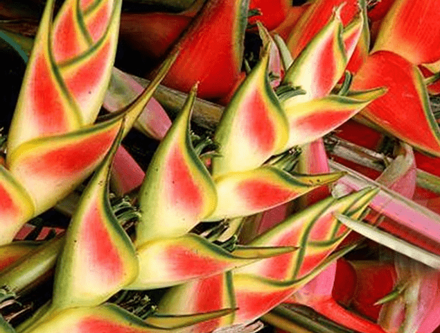 Heliconia Seeds