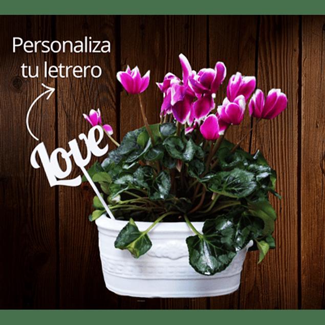 Planta Ciclamen personalizada