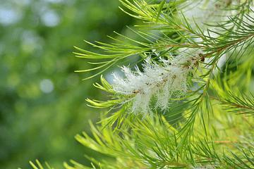5 propiedades mágicas de Aceite esencial de árbol de té