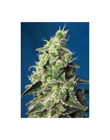 AUTO GREEN POISON XL SWEET SEEDS 3ud