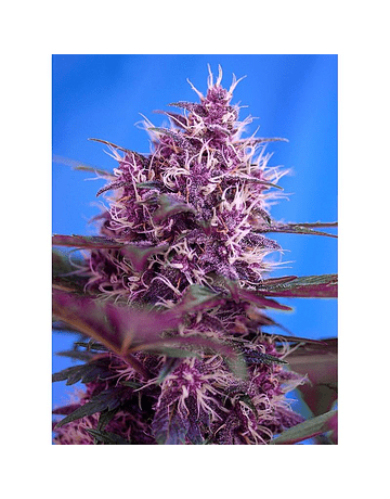 AUTO RED POISON RED FAMILY SWEET SEEDS 3ud
