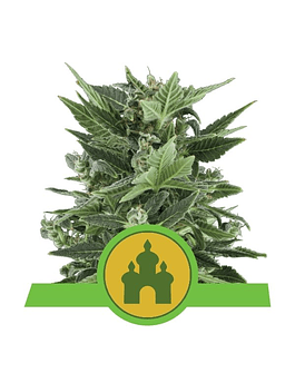 ROYAL QUEEN SEEDS ROYAL KUSH AUTO 1ud