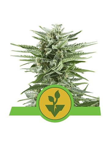ROYAL QUEEN SEEDS EASY BUD AUTO 1ud