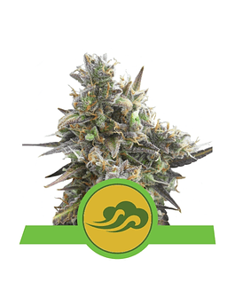Auto Royal Bluematic Royal Queen Seeds 1ud