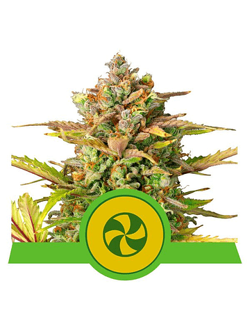 Auto Sweet ZZ Royal Queen Seeds 3ud