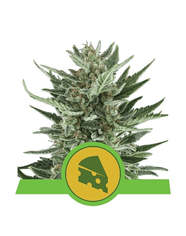 Auto Royal Cheese Royal Queen Seeds