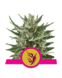 Fem Speedy Chile Royal Queen Seeds (Fast Flowering) 1ud