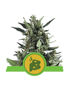 Auto Blue Cheese Royal Queen Seeds 3ud