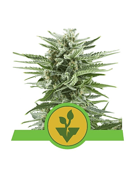 Auto Easy Bud Royal Queen Seeds 3ud