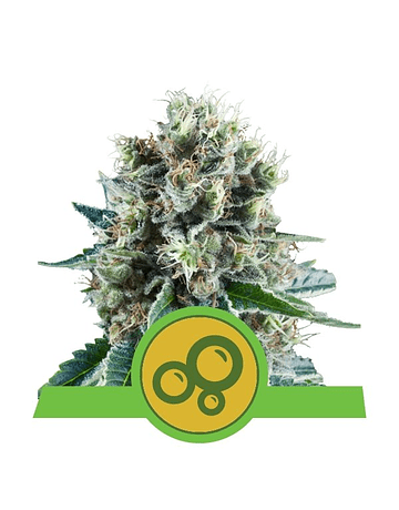Auto Bubble Kush Royal Queen Seeds 3ud